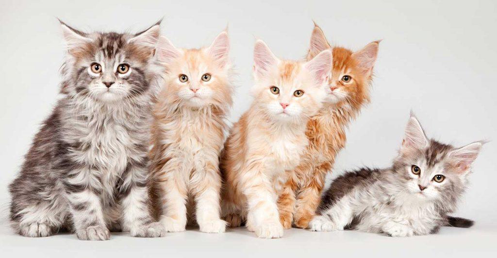 Choosing A Maine Coon Kitten