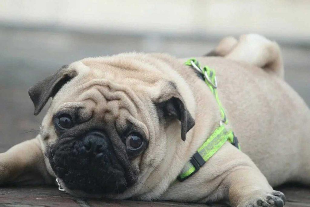 Five Fun Wrinkled Dog Breeds Pug