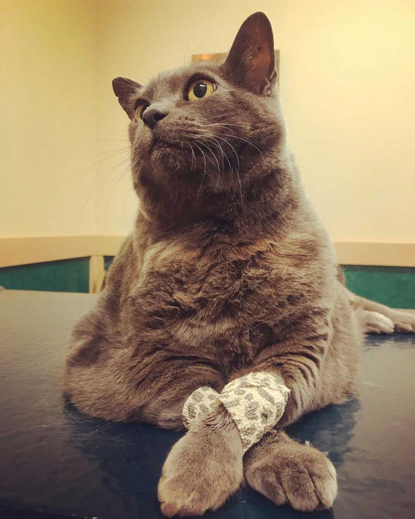 obese cat complaints physiotherapy