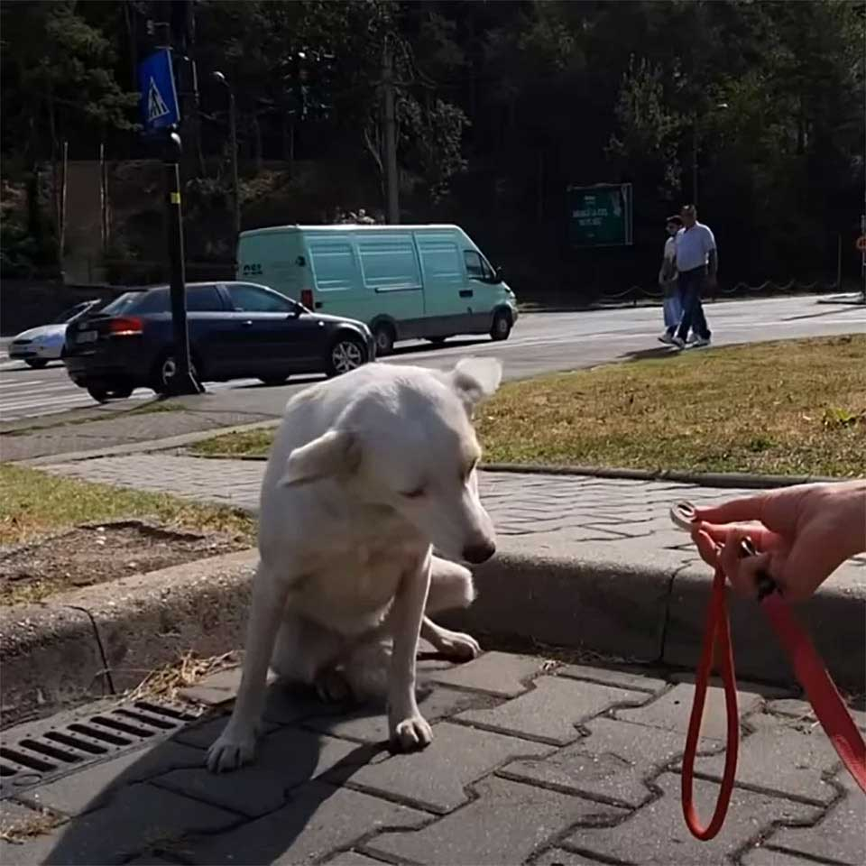sweet little dog wandered busy street asking for help
