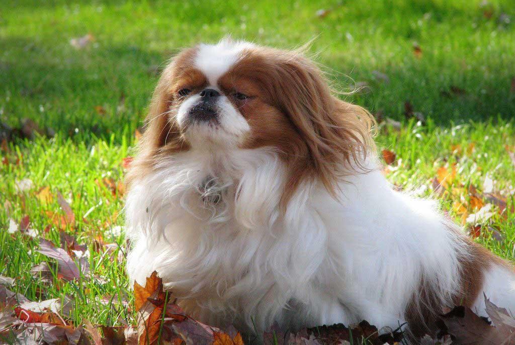 Japanese Chin Dog Breed Information