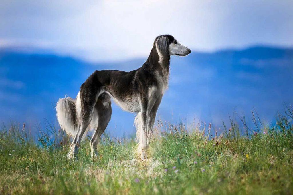 Saluki -Persian greyhound
