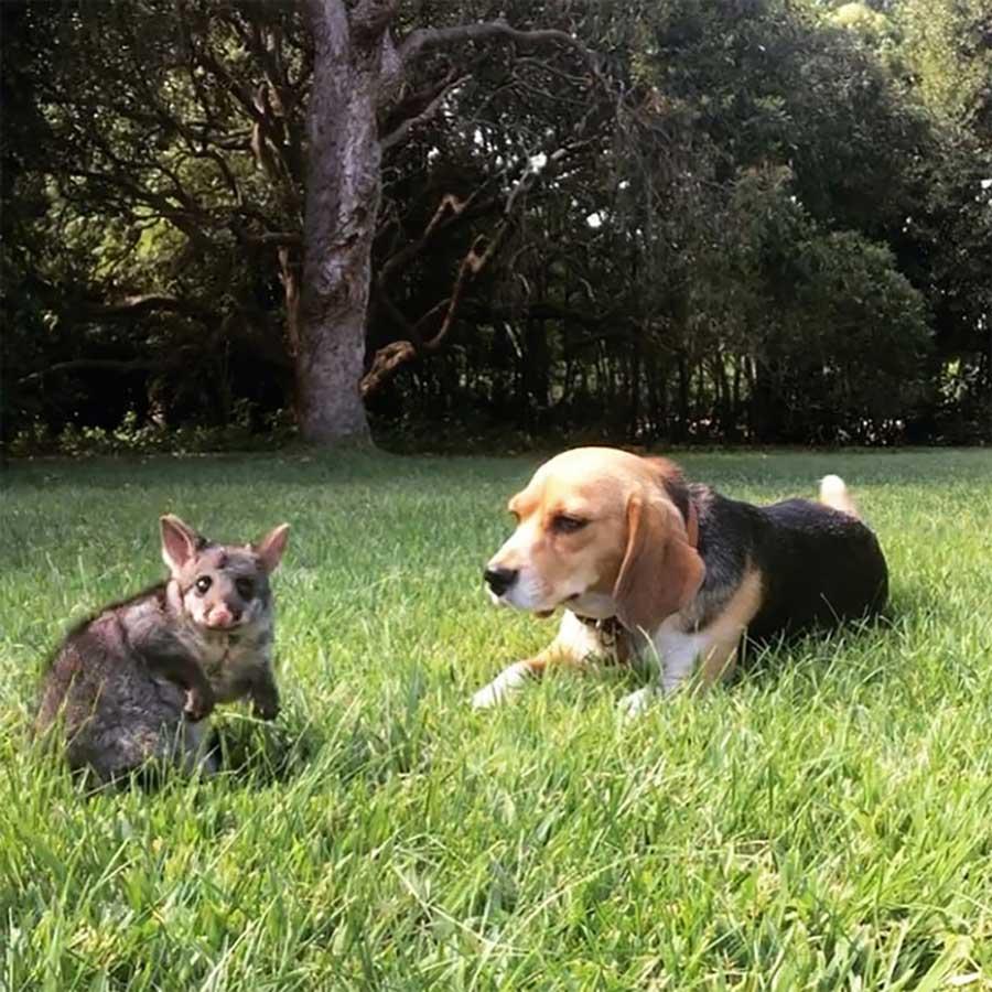 beagle adopts possum losing puppies