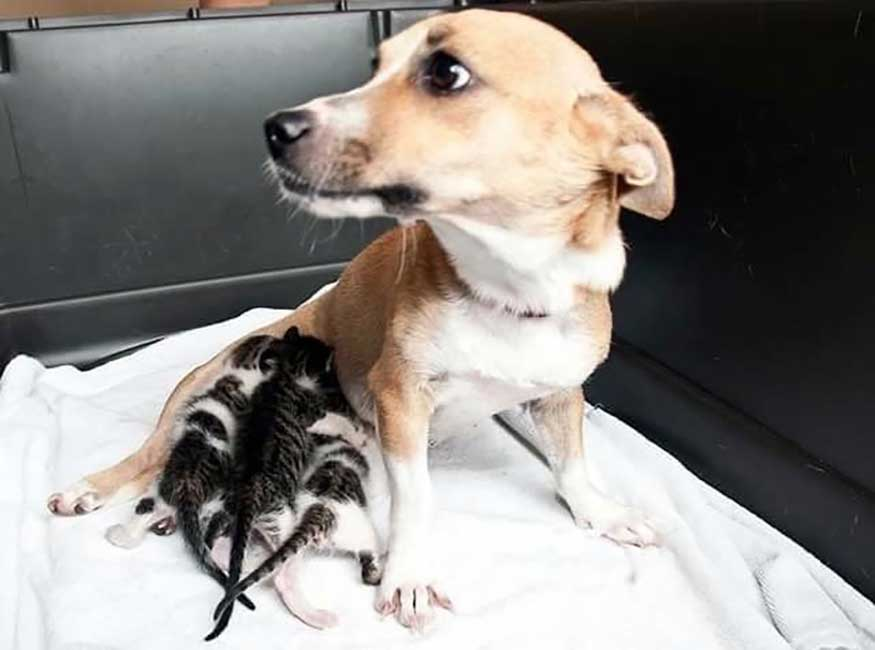 dog adopts orphan cats