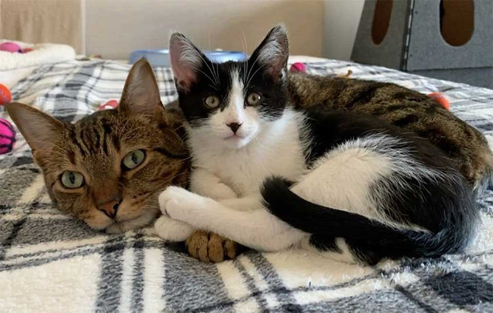 sweet cat helps take care kittens family Brings home