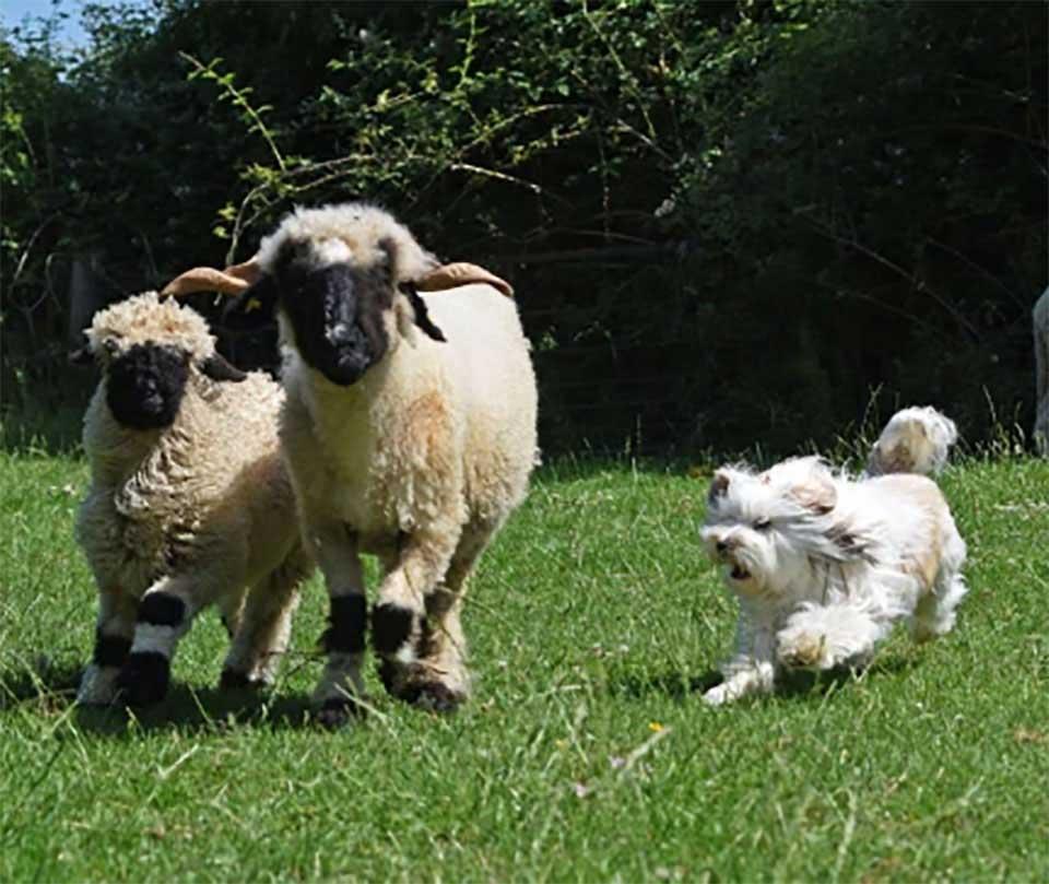 fluffy dog fails as sheepdog