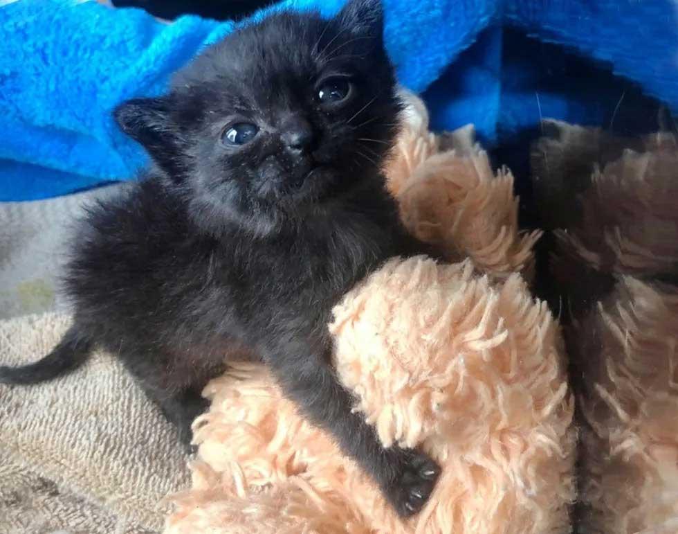 Kitten goes everywhere with teddy bear