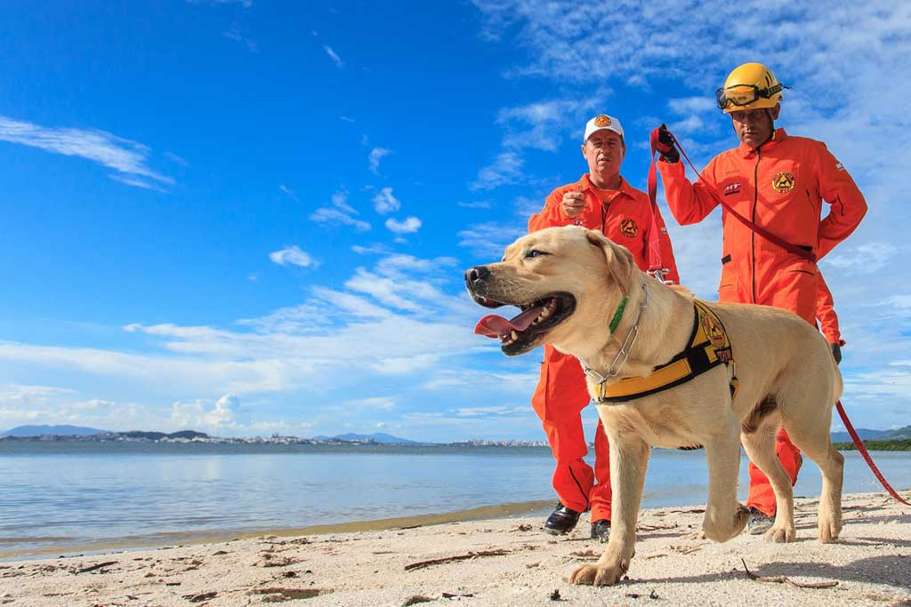Labrador rescue dog