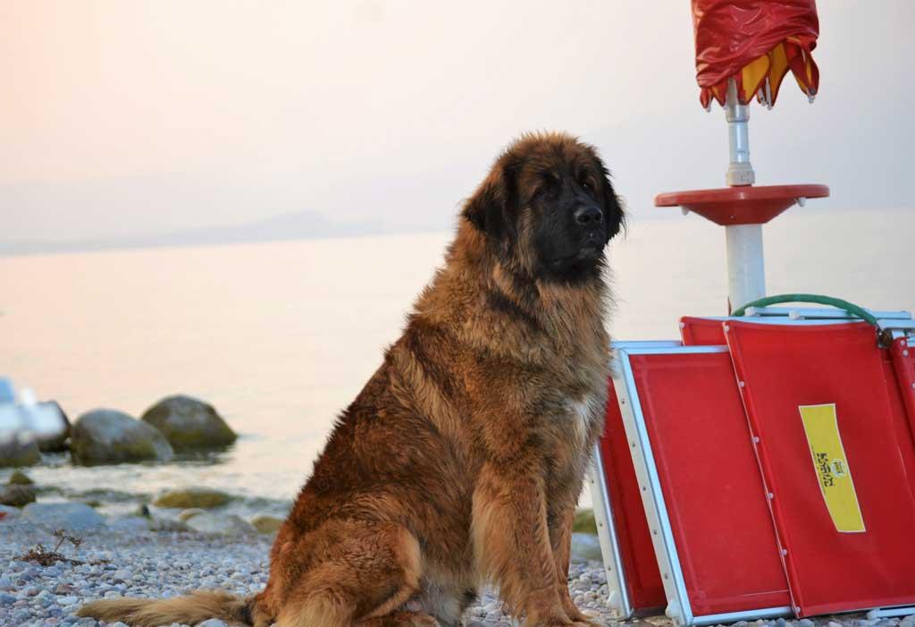 Leonberger rescue dog