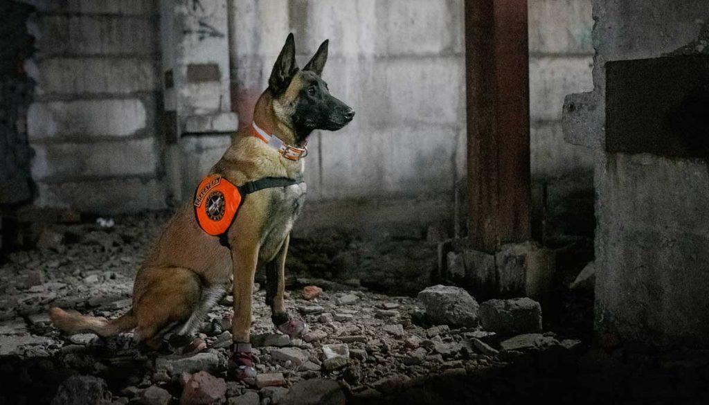Malinois rescue dog
