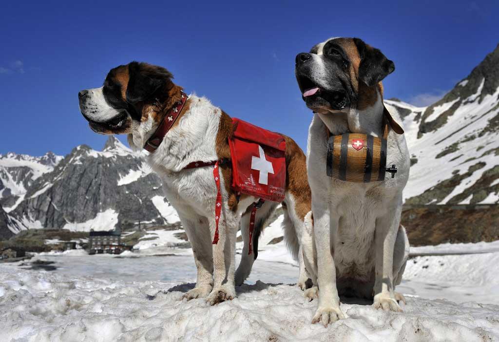 Saint Bernard rescue dog