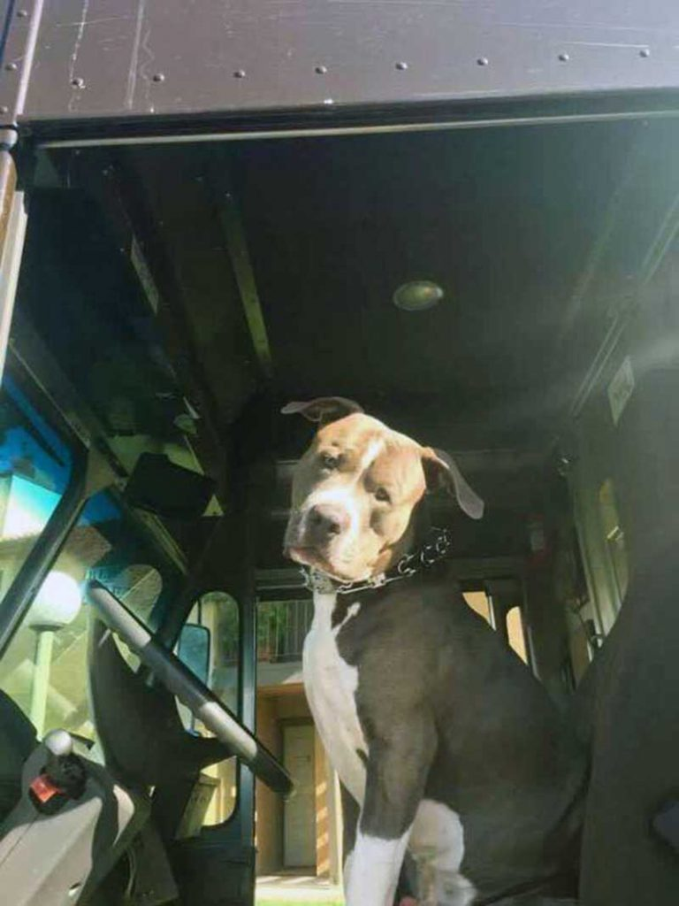 Ups Driver adopts huge Pitbull after owner dies