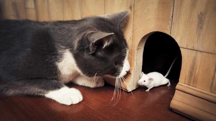 cats bad rat hunters