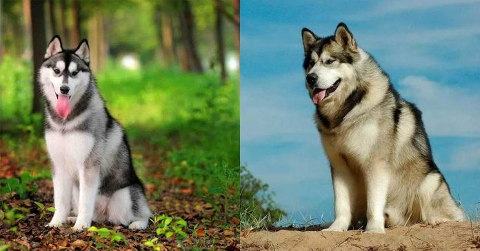difference siberian husky alaskan malamute